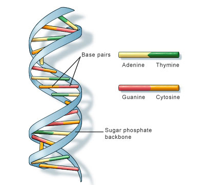 DNA is a polymer. The monomer units of DNA are nucleotides, and the polymer