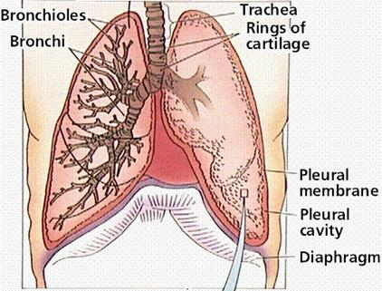 diaphragm and lungs relationship marketing